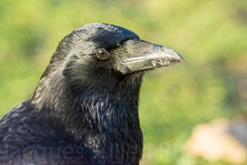 image de tête de corbeau