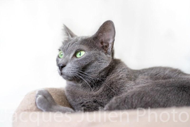 Purebred Gray cat posing
