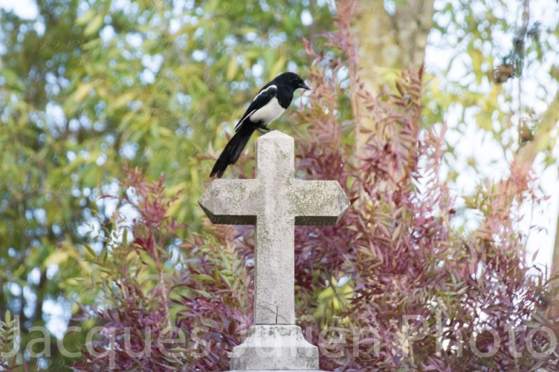Black and white Bird in Cemetery