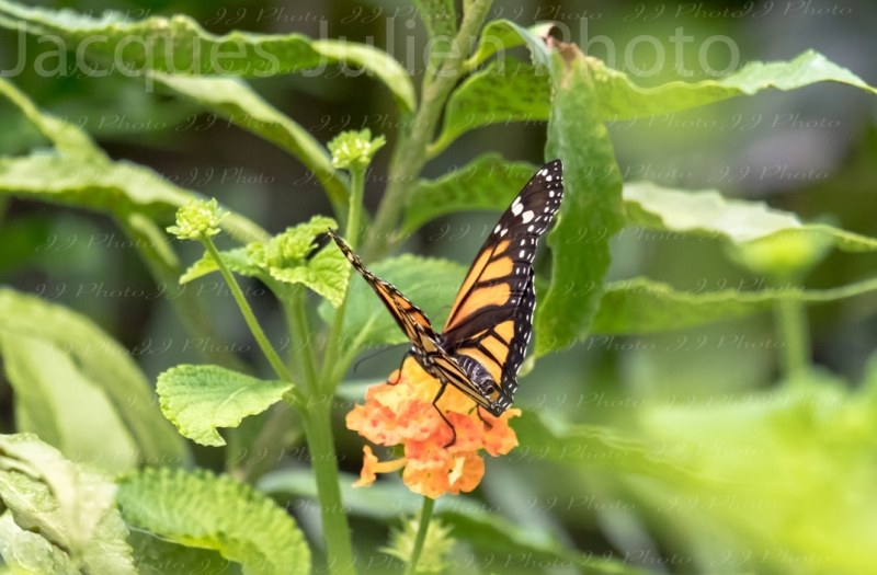 Danaus plexippus orange black monarch butterfly photography