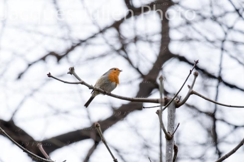 Robin bird photography