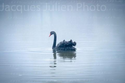 Black Swan Lake – Stock Photo