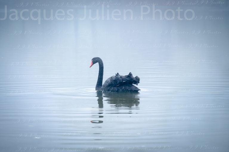 Read more about the article The Black Swan –  Analysis and Photo Gallery