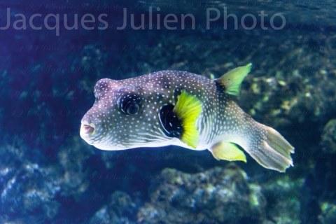 Tropical puffer fish (Arothron hispidus) – Stock Photo