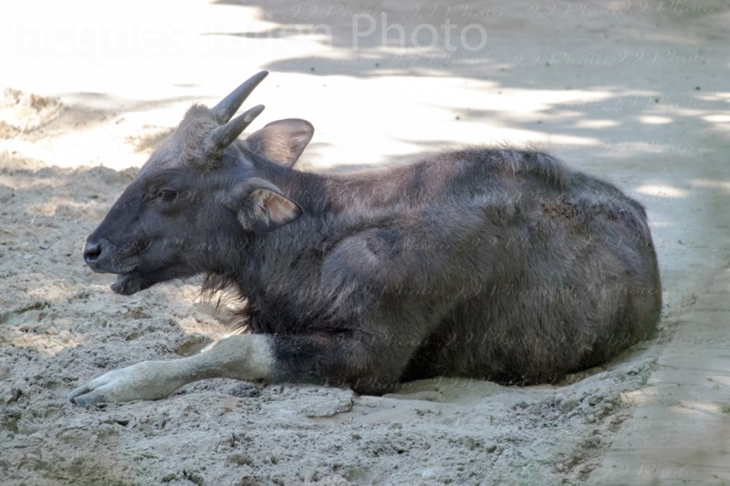 Indian Bison Photography