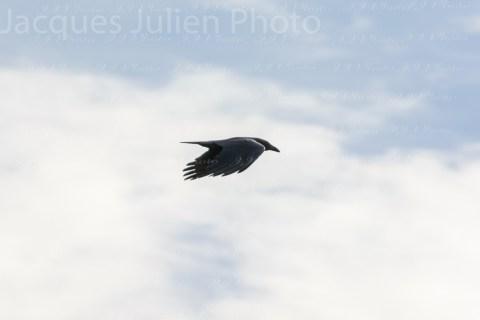 Corneille volant dans le ciel – Photo stock