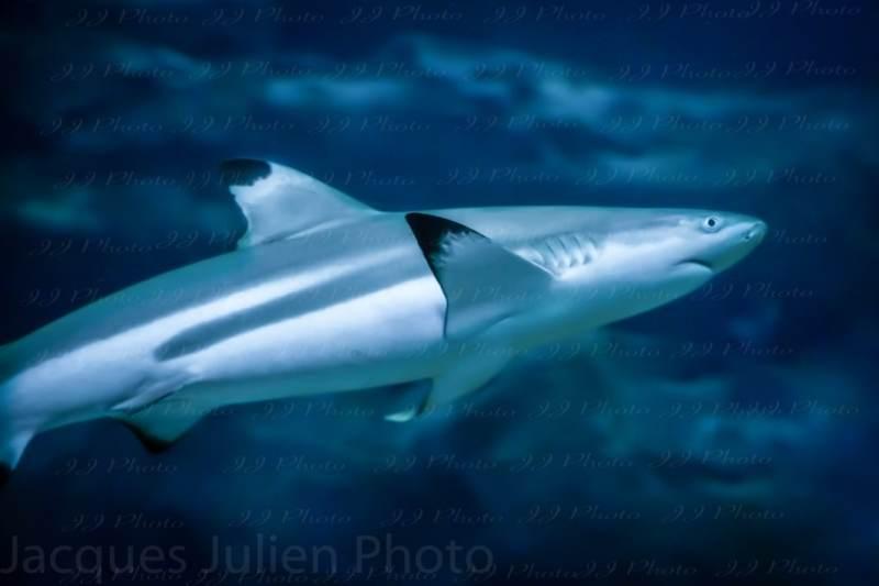 blacktip shark underwater photography