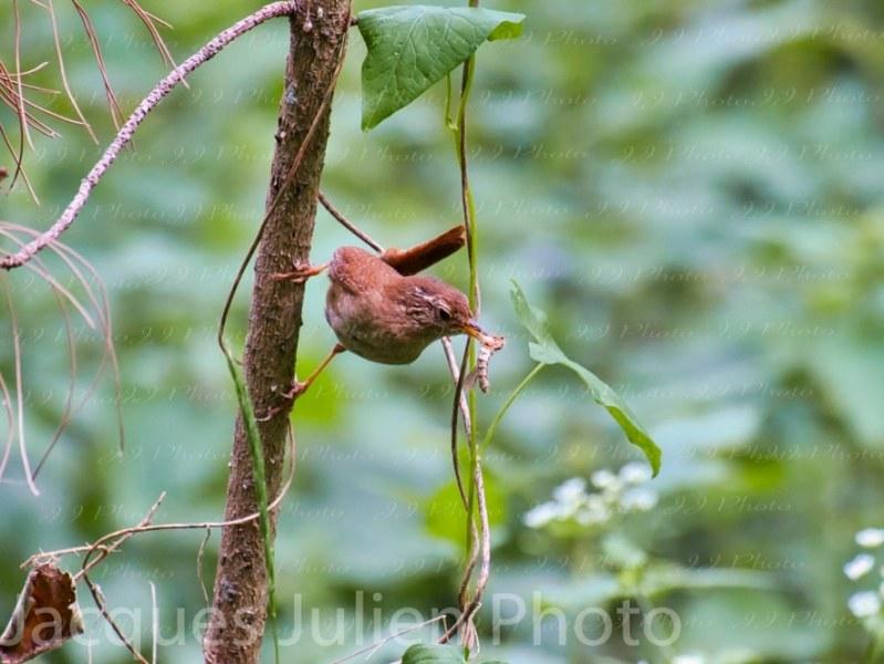 Troglodyte petit oiseau Photographie