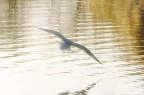 Mouette volant sur un lac – Photo stock