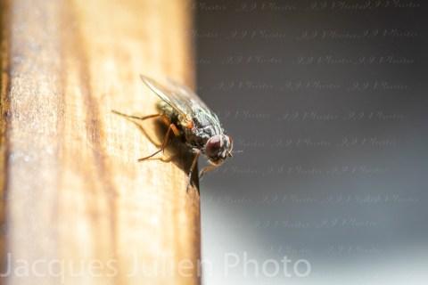 Fly Sarcophagidae – Macro Photo