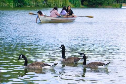 Groupe d'oies sur un lac avec une barque – Photo stock