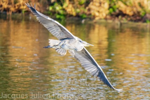 Héron gris en plein vol – Photo stock