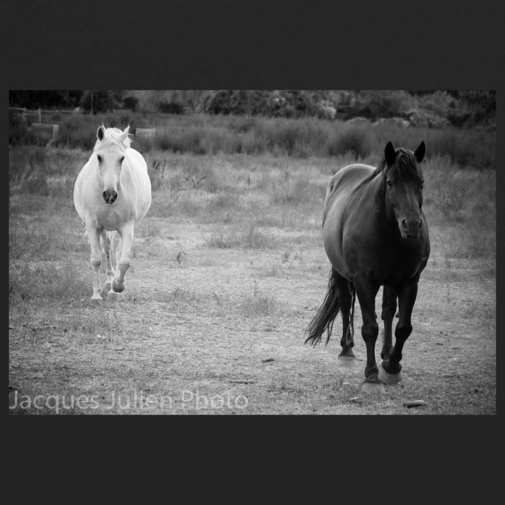 Black and white horse photo