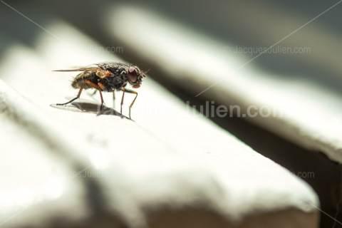 Flesh Fly – Macro Photography
