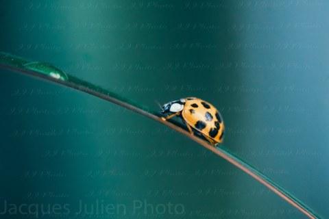 Ladybug on a leef – Coccinellidae – Macro photo