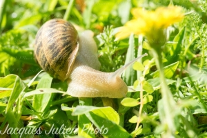 Read more about the article The European brown garden snail