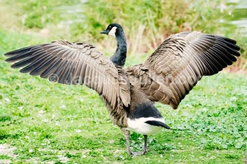 Oie à tête barrée  – Photo libre de droits