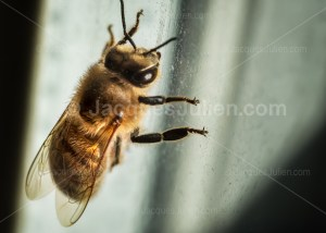 Read more about the article Overcrowding of bees threatens biodiversity in Paris!