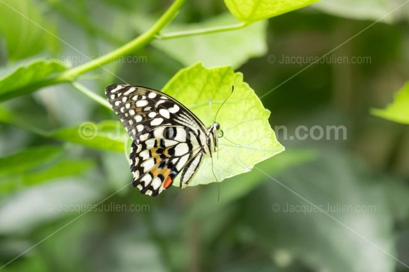 monarque blanc sur une feuille