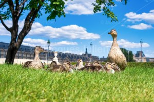 Read more about the article Duck family in the Tuileries Garden during the confinement