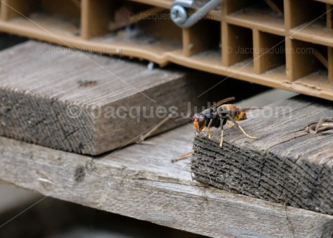 Asian Hornet – Vespa velutina nigrithorax