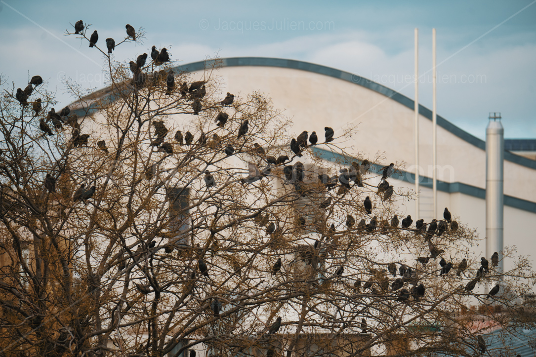 large group of starlings on a tree