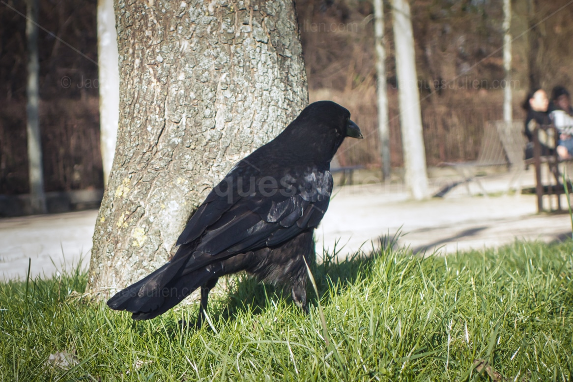 black bird watching people