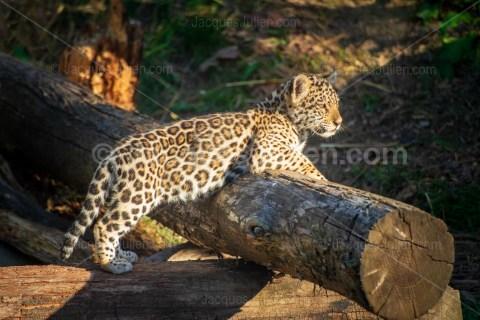 Young jaguar – Panthera onca