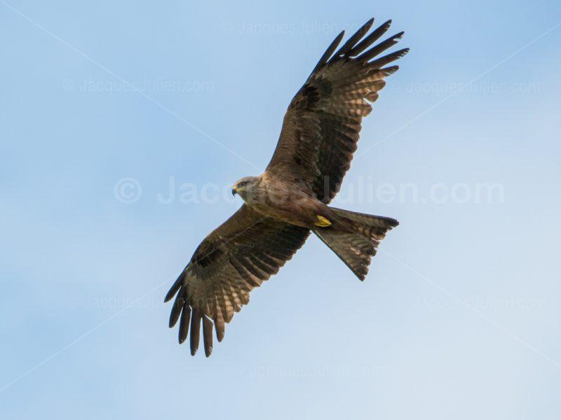 bird of prey raptor