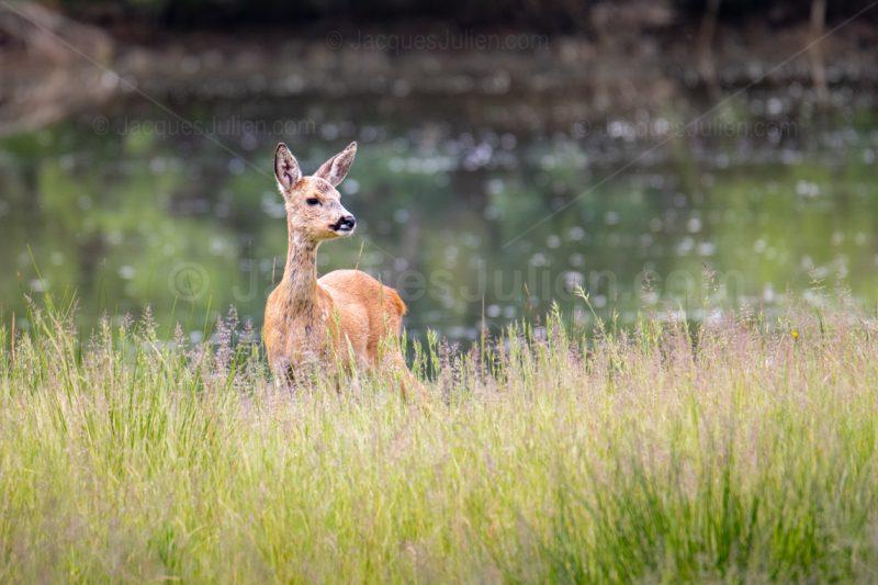 deer wild life image