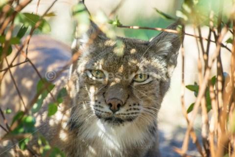 Lynx à l'état sauvage – Photo stock