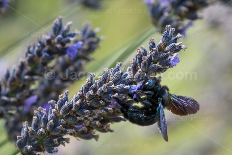 carpenter bee insect